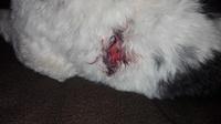 Sobreexcitado en perros, Fox Terrier
