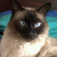 Defeca en casa en gatos, Siamés