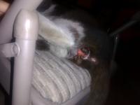 Sangrado en pene en gatos, Desconocida