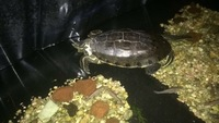 Dificultad al tragar en reptiles, Tortuga de Cumberland