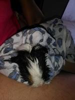 Susy, mi roedor cobaya hembra, tiene mal apetito
