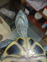 Loki, mi reptil tortuga hembra, tiene heridas y pérdida de piel
