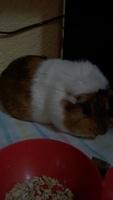 Mal apetito en roedores, Cobaya americana