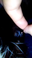 Godofredo, mi gato cruce macho, tiene sangrado en vagina/pene y secreción en pene/vagina