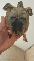 Klori, mi reptil tortuga macho, tiene cojera