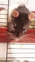 Lua, mi roedor rata estándar hembra, tiene heridas y agresiones
