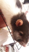 Agresiones en roedores, Rata estándar