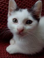 Mucho moco en la nariz en gatos, Común europeo