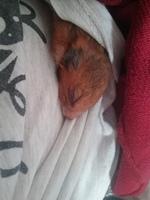 Alexia, mi roedor desconocida hembra, tiene agresiones