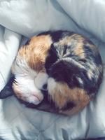 Orina muy poco en gatos, Abisinio