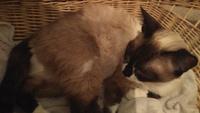 Pufi, mi gato siamés hembra, tiene sangrado en vagina/pene