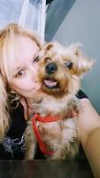 Orina demasiado frecuentemente en perros, Yorkshire terrier