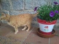 Orina en casa en gatos, Común europeo