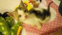 Lovely Figaro, mi gato cruce de europeo de pelo corto hembra, tiene mucho moco en la nariz