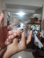 Arcadas en gatos, Abisinio