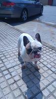 Desorientación en perros, Bulldog francés