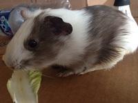 Momo, mi roedor cobaya macho, tiene dificultad al caminar o levantarse