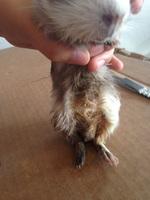 Dificultad al caminar o levantarse en roedores, Cobaya