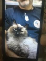 Camila, mi gato cruce de siamés hembra, tiene vómito, mal apetito y dificultad al tragar