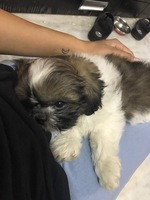 Hashtag, my male dog shih tzu, has poor appetite and threw up