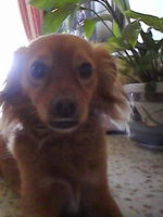 Wilson, mi perro cruce macho, tiene debilidad, dificultad al caminar o levantarse, y desmayos