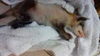 Mordeduras en roedores, Hurón