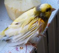 Pelancho, mi ave cruce de canario timbrado español macho, tiene picor y rascarse