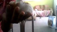 Claryon, mi roedor cobaya americana hembra, tiene dolor al contacto