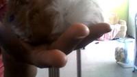 Dolor al contacto en roedores, Cobaya americana