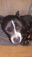 Agresiones en perros, Pit bull