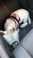 Jadeo en perros, Westie hingland white terrier