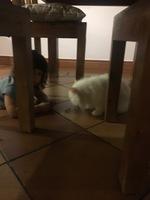 Sangrado en vagina en gatos, Persa tradicional