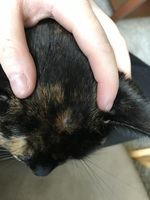 Hazel, my female cat mixed with siamese, has a health problem