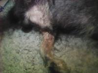 Roky, mi perro schnauzer miniatura macho, tiene dificultad para orinar y sangre en orina