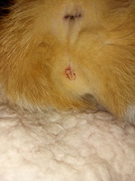 Pinky, mi gato cruce hembra, tiene sangrado en vagina/pene