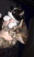 Kiri, mi gato cruce de siberiano hembra, tiene vómito, dificultad para defecar, y mal apetito