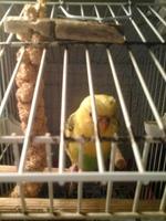 Debilidad en aves, Periquito Ino