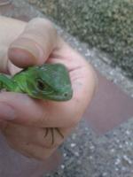 Mucho moco en la nariz en reptiles, Iguana verde
