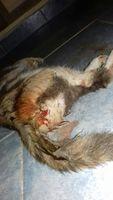 Pimpo, mi gato bobtail japonés hembra, tiene sangrado en vagina/pene