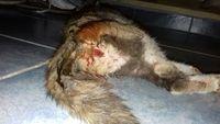 Sangrado en vagina en gatos, Bobtail japonés