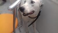 Traya, mi perro cruce de dogo argentino hembra, tiene un problema de salud