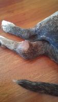 Nina, mi perro cruce de pit bull hembra, tiene cojera y dolor al contacto