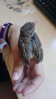 Inclina la cabeza en aves, Canario de raza española