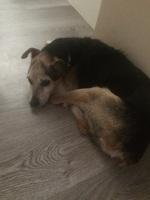 Dificultad al masticar en perros, Ratonero bodeguero andaluz