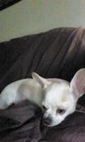 Sheila Perez, my female dog chihuahua, has diarrhea, anal bleeding, and poor appetite