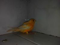 Margarita, mi ave canario de raza española macho, tiene cojera