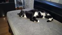 Dificultad al tragar en gatos, Común europeo