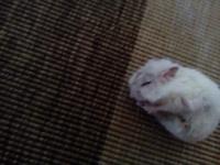 Se rasca en los oídos en roedores, Hámster ruso
