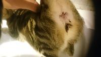 Fluido vaginal en gatos, Europeo de pelo corto