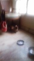 Dificultad para orinar en gatos, Siamés